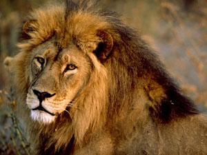 Львёнок и шакалы. Басня о клевете на великих людей